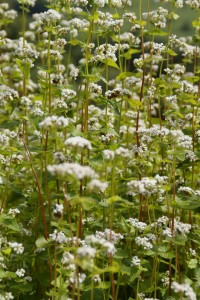 buckwheat-flowers