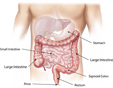 abdomen-digestion process